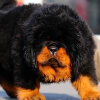 tibetskij mastif - Тибетский мастиф