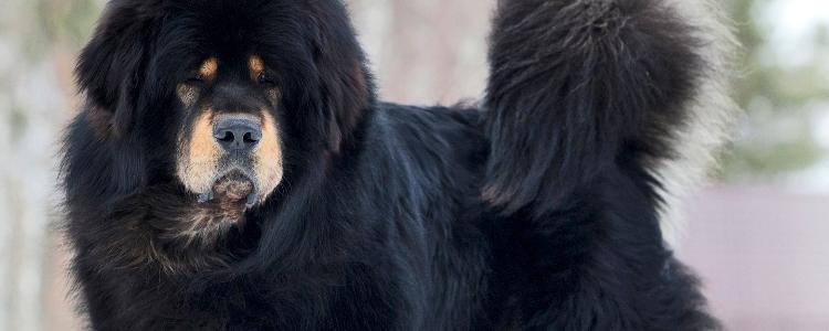 tibetskij mastif2 - Тибетский мастиф