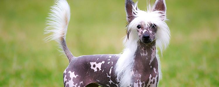 kitajskaya xoxlataya sobaka2 - Китайская хохлатая собака