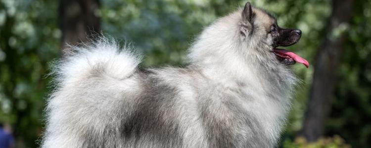 Собака Немецкий вольфшпиц