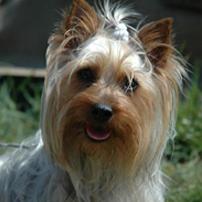 Собака Австралийский шелковистый терьер