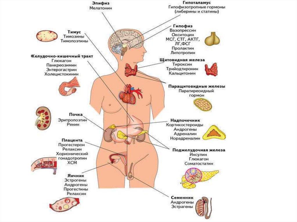 Женские половые гормоны: эндокринная система